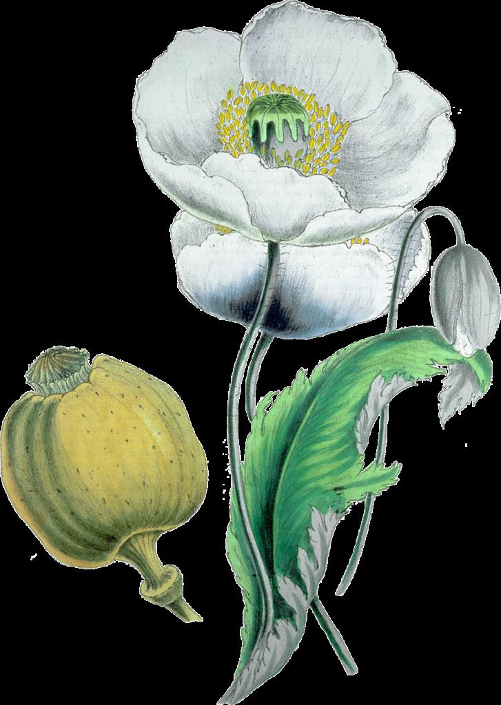 Opium plant